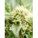 Cheese Autoflower Seeds Online | Buy Cheese Autoflower Seeds