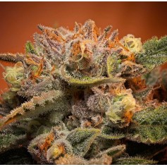 Semillas California Orange Bud Feminizadas