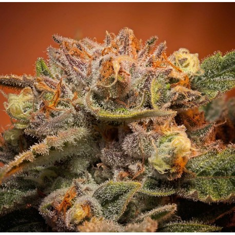 California Orange Bud Feminisert Cannabis Frø