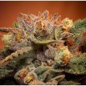 California Orange Bud Samen