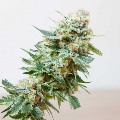 Misty Feminized Seeds Online | Buy Misty Feminized Seeds