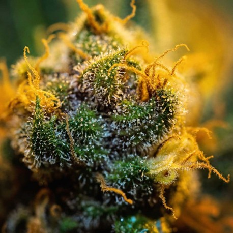Blue Berries Feminiserade Cannabis Frön
