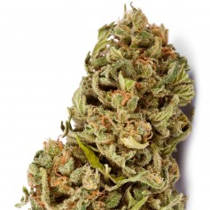 Buy Amnesia feminized seeds