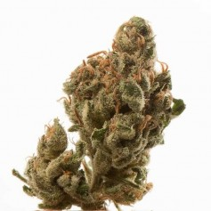 Ice Feminized Seeds Online | Buy Ice Feminized Seeds