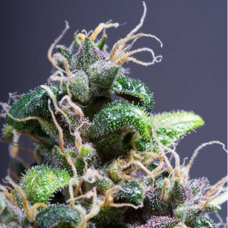 Purple Power Feminized Seeds Online | Buy Purple Power Feminized Seeds