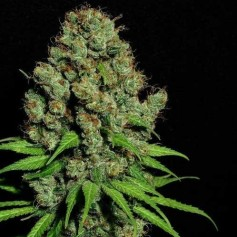 Buy Aurora Indica feminized seeds