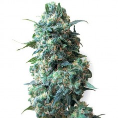 Buy Afghan Feminized Seeds
