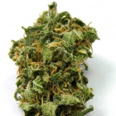 Top 44 Feminized Seeds Online | Buy Top 44 Feminized Seeds
