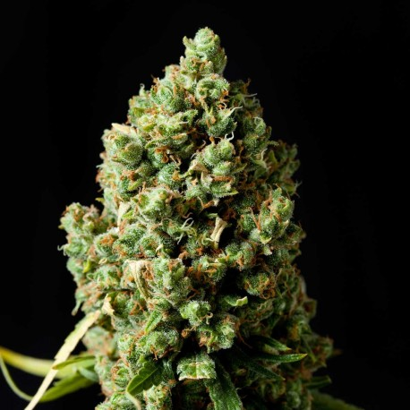 Graine de Jack Herer