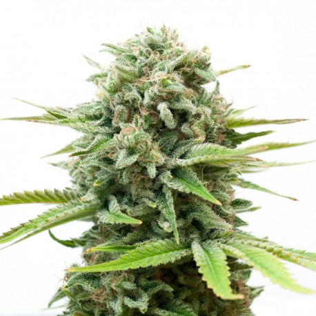 White Widow Seeds Online | Buy White Widow Seeds
