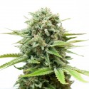 White Widow Feminizada