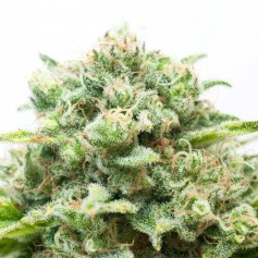 Diesel feminized Seeds Online | Buy Diesel feminized Seeds