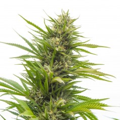 Bubblelicious Feminized Seeds Online | Buy Bubblelicious Feminized Seeds