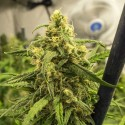 Big Bud Autoflower Siemenet