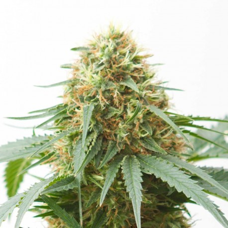 Northern Light Autoflower Cannabis Frø
