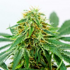 Northern Light x Shiva Feminized Seeds Online | Buy Northern Light x Shiva Feminized Seeds