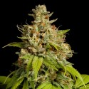 Durban Poison Feminized Seeds