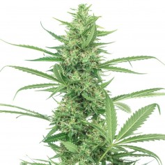 Power Plant Autoflowering Seeds Online | Buy Power Plant Autoflowering