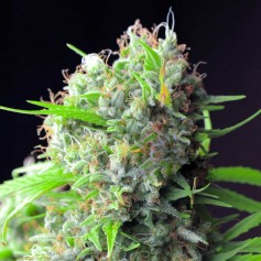 Graine de White Rhino
