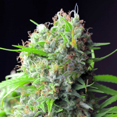White rhino femelle high supplies for Graine cannabis femelle exterieur