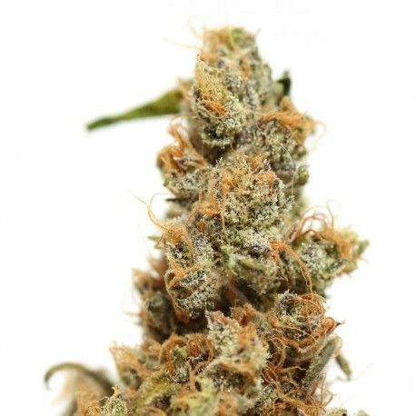 Haze Feminized Marijuana Seeds