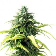 Skunk 1 Feminized Seeds Online | Buy Skunk 1 Feminized Seeds