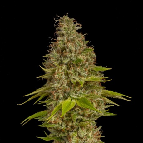 Early Special Feminized Seeds Online | Buy Early Special Feminized Seeds