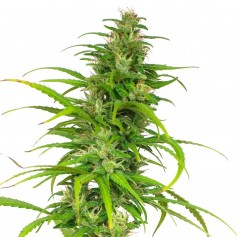Early Misty Feminized Seeds Online | Buy Early Misty Feminized Seeds