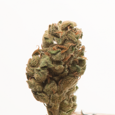 Graine de haze x skunk high supplies for Skunk interieur