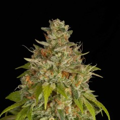 Swazi x Skunk Seeds Online | Buy Swazi x Skunk Seeds