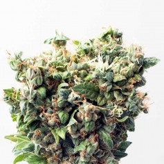Critical Autoflowering Seeds Online | Buy Critical Autoflowering Seeds
