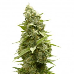 Girl Scout Cookies Feminized Seeds Online | Buy Girl Scout Cookies
