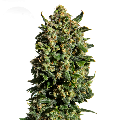Wedding Cake Feminized Marijuana Seeds