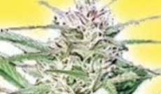 Top 6 Feminized Cannabis Seeds for Commercial Purposes
