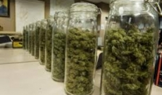 How to Cure Cannabis: A Tricky Process!
