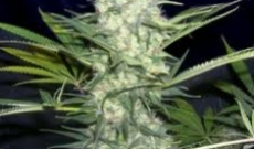 Aurora Indica Seeds Gives More Yields