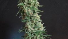 B-52 Seeds Is Best Grown Indoor