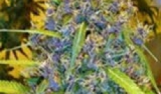 Blue Mystic seeds-one of the best cannabis hybrid