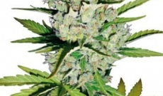 Super Skunk Seeds Have Won The Cannabis Award