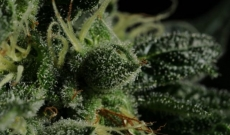 Knockout (K.O) feminized seeds