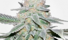 Get high with Crystal seeds too, among the best in the market