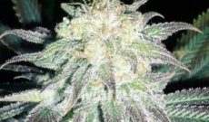 Ice Feminized Seeds are Special Cannabis for Bedtime Smokers