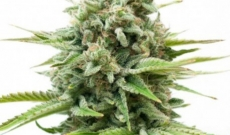 If You Are Into Marijuana, Why Not Try White Widow