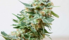 Misty Feminized seeds are Right Options for Experienced Growers and Beginners