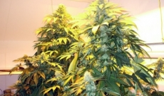 Pure Power marijuana seeds