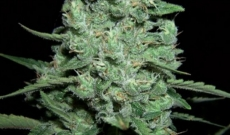 AK47 Auto giver flere udbytter