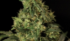 Northern Light es híbrido de Indica y Afghani