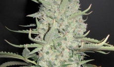 White Widow er bedst for begyndere