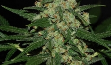 Afghan Feminized Give More Germination Chances