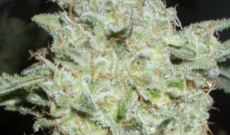 Afghan Seeds Are Purely Indica And A Little Sativa